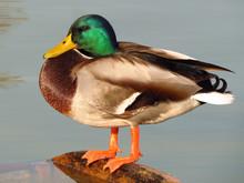 Mallard (Anas Platyrhynchos) Or Wild Duck, Green Head Male Wild Duck Mallard, A Common Dabbling Duck, Anseriformes, Anatidae