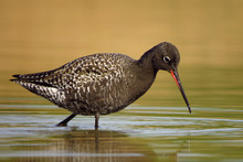 Spotted Redshank (Tringa Erythropus) Searching For Food And Feeding In Shallow Water