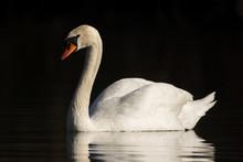 Mute Swan (Cygnus Olor) Eurasi...