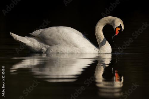 Photo Mute swan (Cygnus olor) eurasian species of red billed swan in waterfowl family