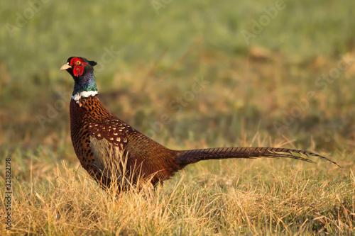 Photo Common pheasant (Phasianus colchius) Ring-necked pheasant in natural habitat, wa