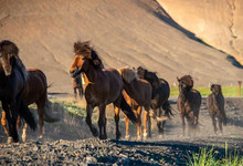 A Herd Of Icelandic Horses In ...