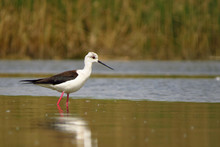 Black-winged Stilt (Himantopus Himantopus) Very Long Legged Wader In The Avocet And Stilt Family (Recurvirostridae), Documentary Photo Of Black Winged Stilt