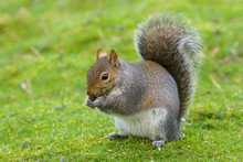 Close Up Of A Grey Squirrel (s...