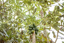 Bunch Of Green Papayas Growing On The Tree, View From Below