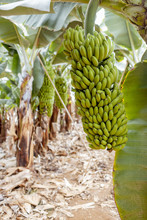 Ripe Bunch Of Green Bananas Ready To Pick Up Growing On The Plantation