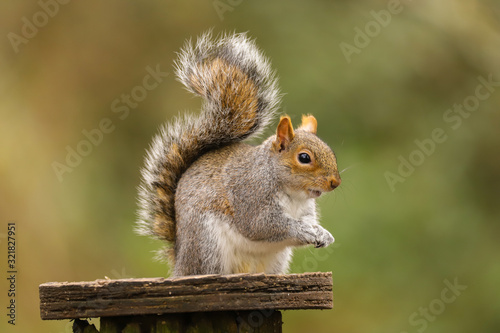 Close up of a Grey Squirrel (sciurus carolinensis).  Taken at my local nature reserve in Cardiff, Wales, UK