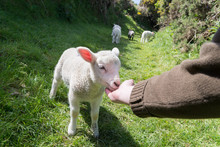 Hand Feeding A Young Lamb With...