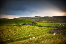 Mouton Dans Le Prêt