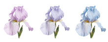 Set Of Three Iris Flowers (pin...