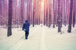 Pine snowy forest in winter. A person walking with a dog in the snow