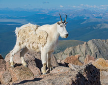 Mountain Goat In The Rockies