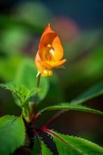 A Bright Orange Impatiens Auri...