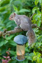 Grey Squirrel On Tree Branch I...