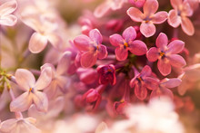 Tender Pink Lilac Flowers In S...