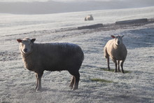 Sheep On A Frosty Morning