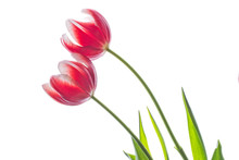 Pair Of Red Tulips Isolated On White