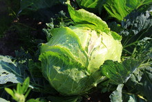 Fresh Head Of Cabbage In Dropl...