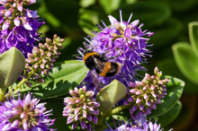 Bumble Bee On Purple Flowers In The Garden