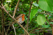 European robin Erithacus rubecula perching in a shrub