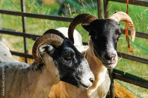 Scottish blackface sheep in enclosure Wallpaper Mural