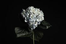 Beautiful Hydrangea On Black Background. Floral Card Design With Dark Vintage Effect
