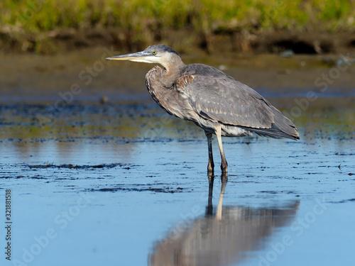 Photo Great-blue heron, Ardea herodias,