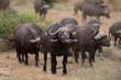 canvas print picture - Cape buffalo, African buffalo in the wilderness