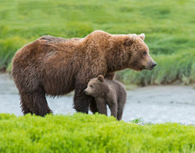 Brown Bear Mother And Cub McNe...