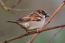 Portrait Of House Sparrow (pas...