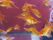 Common Gold Fish
