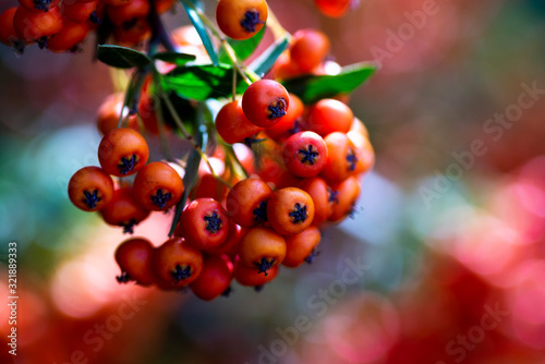 Close up shot of rowan fruits on branch. Wallpaper Mural