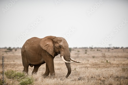 Beautiful shot of an african elephant in the savanna field Canvas Print