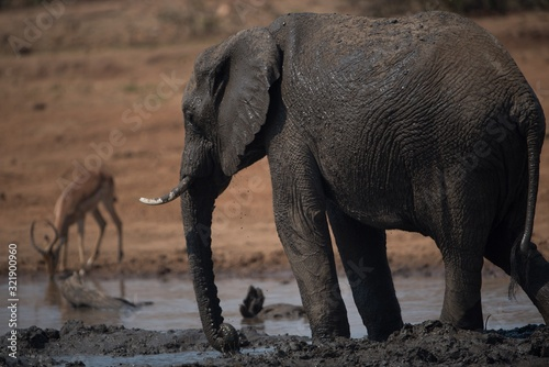 Selective focus shot of an african elephant in a muddy lake Wallpaper Mural