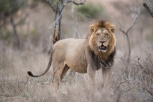 Male Lion Standing On The Bush...