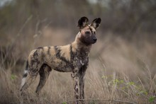 African Wild Dog Standing On T...