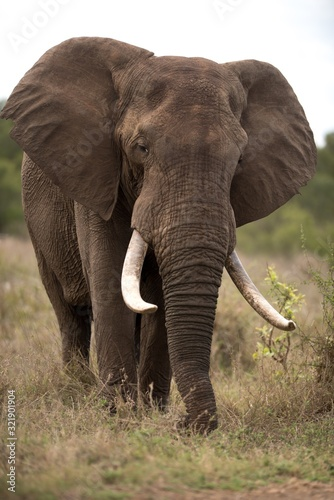 Vertical shot of an african elephant with a blurred background Wallpaper Mural