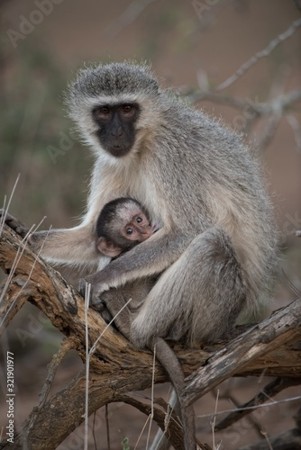 Photo Closeup shot of a blackface monkey hugging her baby with a blurred background