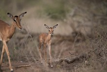 Mother And A Baby Antelope Wal...