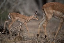 Beautiful Shot Of A Mother And A Baby Antelope Walking Together With A Blurred Background