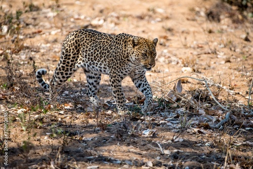 Fototapety, obrazy: African leopard slowly walking on the ground ready to hunt a prey