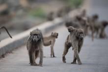 Group Of Baboon Monkeys Walkin...