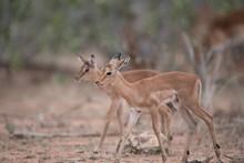Baby Antelopes Walking Togethe...