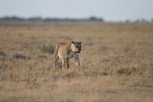 Female Lion On A Bush Field Hunting For A Prey