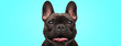 closeup of an adorable french bulldog puppy dog looking very happy and eager