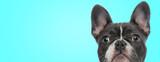 Fototapeta Kawa jest smaczna - closeup picture of a surprised french bulldog puppy