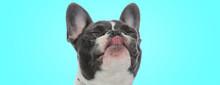 Happy Little French Bulldog Puppy Is Sticking Out Its Tongue With Eyes Closed