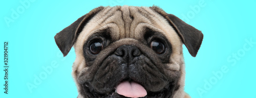 Papel de parede excited little panting pug with mouth open and tongue exposed looking amazed