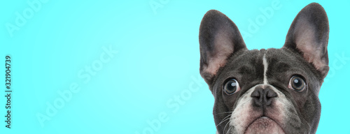 Fototapeta closeup picture of a surprised french bulldog puppy obraz