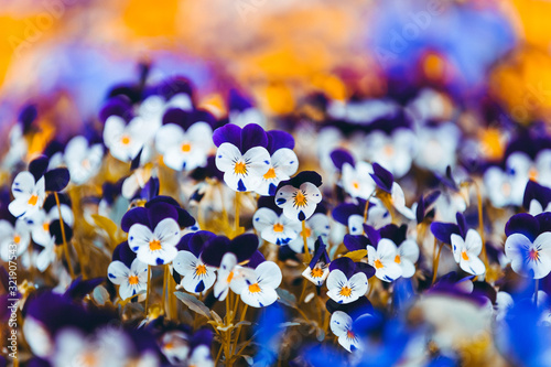 Violet and white violets on a blurry orange floral background. Multi-colored field of violets. Bright flowerbed